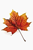 A maple leaf with autumn tints