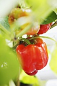 Red pepper on the plant