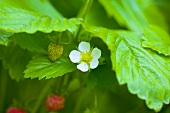 Flowering strawberry plant