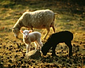 Lambs and sheep in a pasture in Sweden