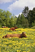 Cows lying in a wild flower meadow in Sweden