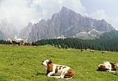 Cows in a pasture in the Dolomites