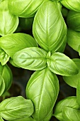 Fresh basil leaves from above