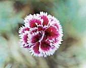 Nelkenblüte Sweetheart Abbey, Garten nelke, close-up