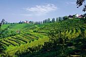 Weinberge in Slowenien an der Grenze zu Kroatien, Ljutomer