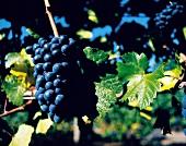 Weinreben, Sorte Abbey Ridge, Oregon Pinot noir, vom Weingut Cameron USA