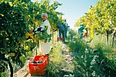 People harvesting in vineyard in Laborie Estate in Paarl, South Africa