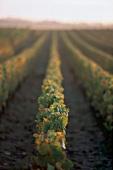 Burgund, Weinreben, biodynamischer Weinanbau, Weinberg, morgens