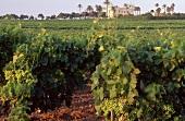 View of vineyard in Jerez
