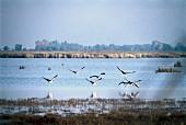 Greylag Geese on Lake Neusiedl, Austria