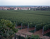 Vineyard on the German wine route at Palatinate