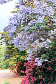 Blooming purple jacaranda trees in Worcester, South Africa