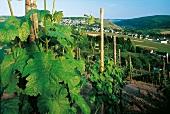 Weinterrassen im Weingebiet Ruwer: Blick auf Mertesdorf