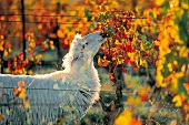 Schaf zwischen Reben in Sardinien