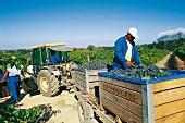 Südafrika: Weinlese im Frühjahr
