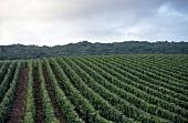 Weinlandschaft in der Champagne X