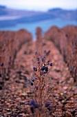 Weinterrassen mit Weinstock in Herbstfarben, Champagne