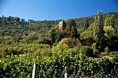 Vineyards in Palatinate, Sonnenberg