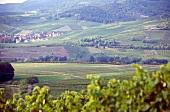 Weinlandschaft in der Pfalz Bächingen