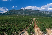 View of vineyards at Domain Grecaux, Languedoc