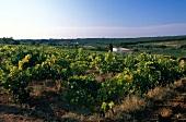 Vines in Languedoc, France
