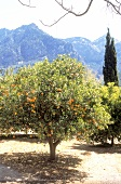 Orange tree with fruits in front of Serra de Tramuntana mountain range