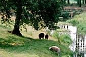 3 Schafe auf einer Wiese bei Nuenen in den Niederlanden