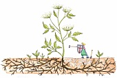 Frau kämpft mit Harke gegen Gierschpflanze