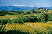Blick über Weinreben auf die Julischen Alpen, Friaul, Friuli
