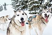 Zwei Alaska Malamut-Hunde im Schnee, Kamerablick