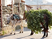 Two donkeys carrying plants on its back