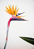 Close-up of strelitzia against white background