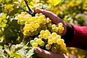 Close-up of grapes, Wallis