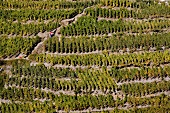 View of vineyards on steep slope at Wallis