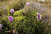 Purple orchid in field