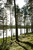 View of forest with tall trees and lake, Sweden