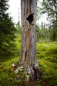 Hollow tree trunk with scratch marks of bear in forest