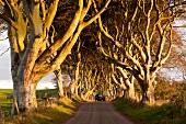 Irland: Dark Hedges, alte Buchen Allee, herbstlich, Sonnenstrahlen