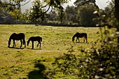 Grazing horses on pasture in Armagh, Ireland, UK