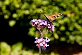 Butterfly on small purple flowers