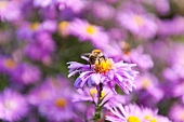 Close-up of honey bee on purple daisy