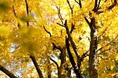 Close-up of yellow deciduous tree