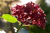 Close-up of red Hydrangeas