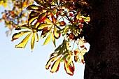 Baum, Blätter herbstlich, close-up X