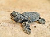 Unechte Karettschildkröte, close-up