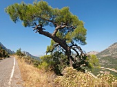 View of tree and mountain at Termessos in Antalya Province, Turkey