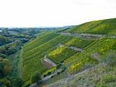 Weinberge im Weinanbaugebiet Nahe X