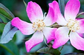 zwei Blüten, lila-weiss, close-up. X