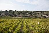 View of wine Vintage in Hvar, Croatia