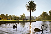 View of swans and people in Royal Botanic Gardens, Melbourne, Victoria, Australia